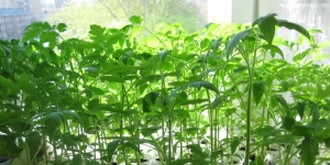 Вырастим рассаду томатов