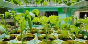 Выращивание рассады в стаканчиках
