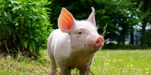 Информация для населения, содержащего  свиней в личных подворьях